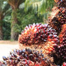 New Palm Oil processing mill for Kenso